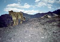 Snow leopard Sighting Trek