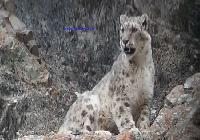 Big Wild Cats Sighting  Himalaya Ladakh